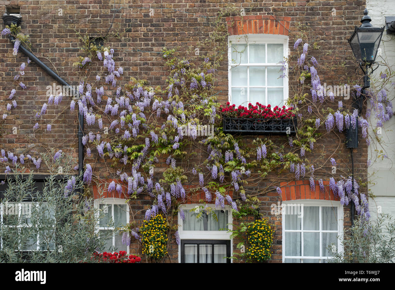 Wisteria and window boxes on the front of a house in Bathurst Mews, Hyde Park Estate, Bayswater, London, England - Stock Image
