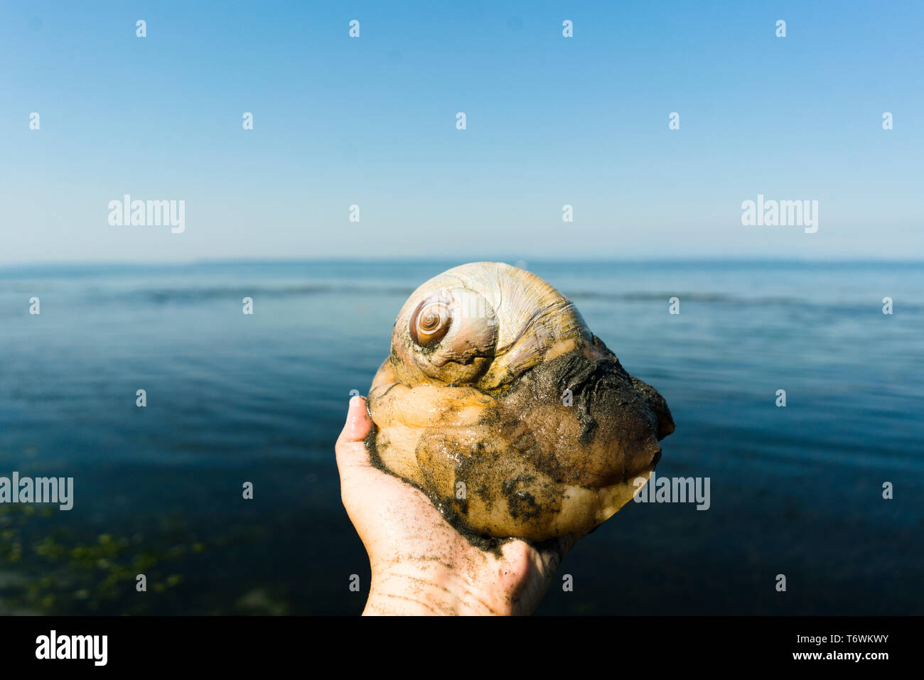 Cropped image of a person holding a moon snail against a beach horizon Stock Photo