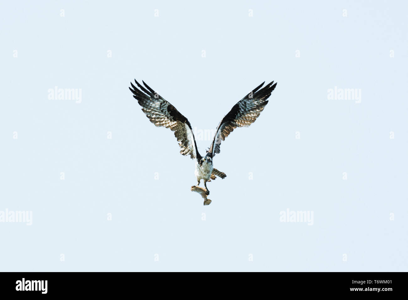 An osprey flying while carrying a flatfish - Stock Image
