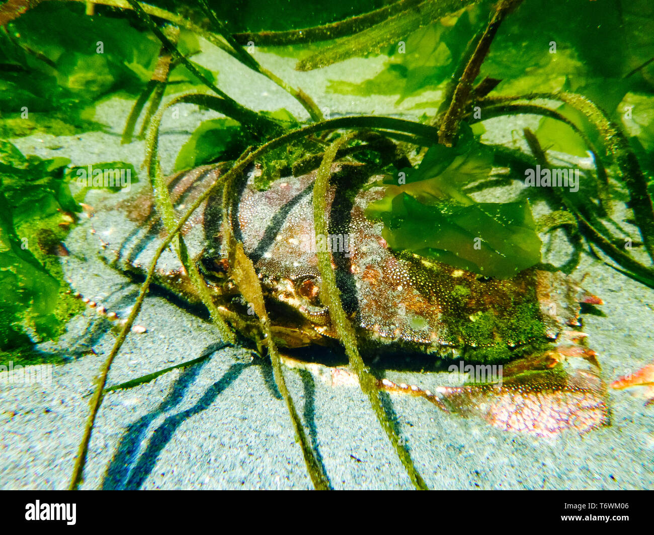 A red rock crab hiding under sea grass in a tide pool Stock Photo