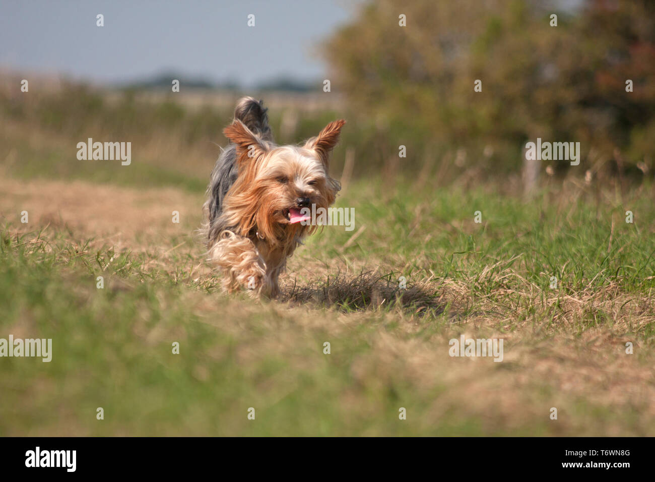 Yorkshire terrier walking in countryside (south downs, Brighton) Stock Photo