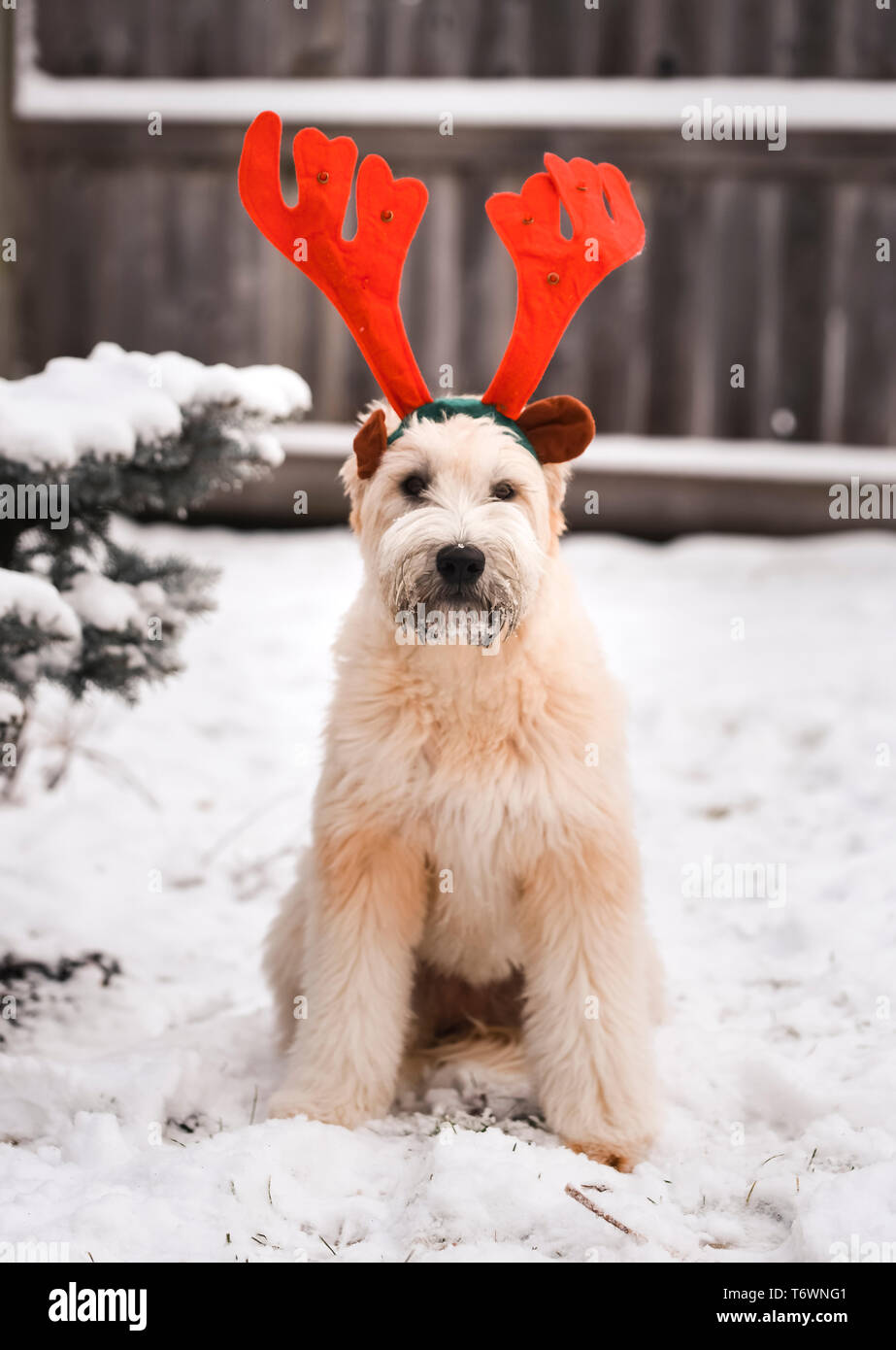 Dog sitting outside in the snow wearing colorful reindeer antlers. - Stock Image