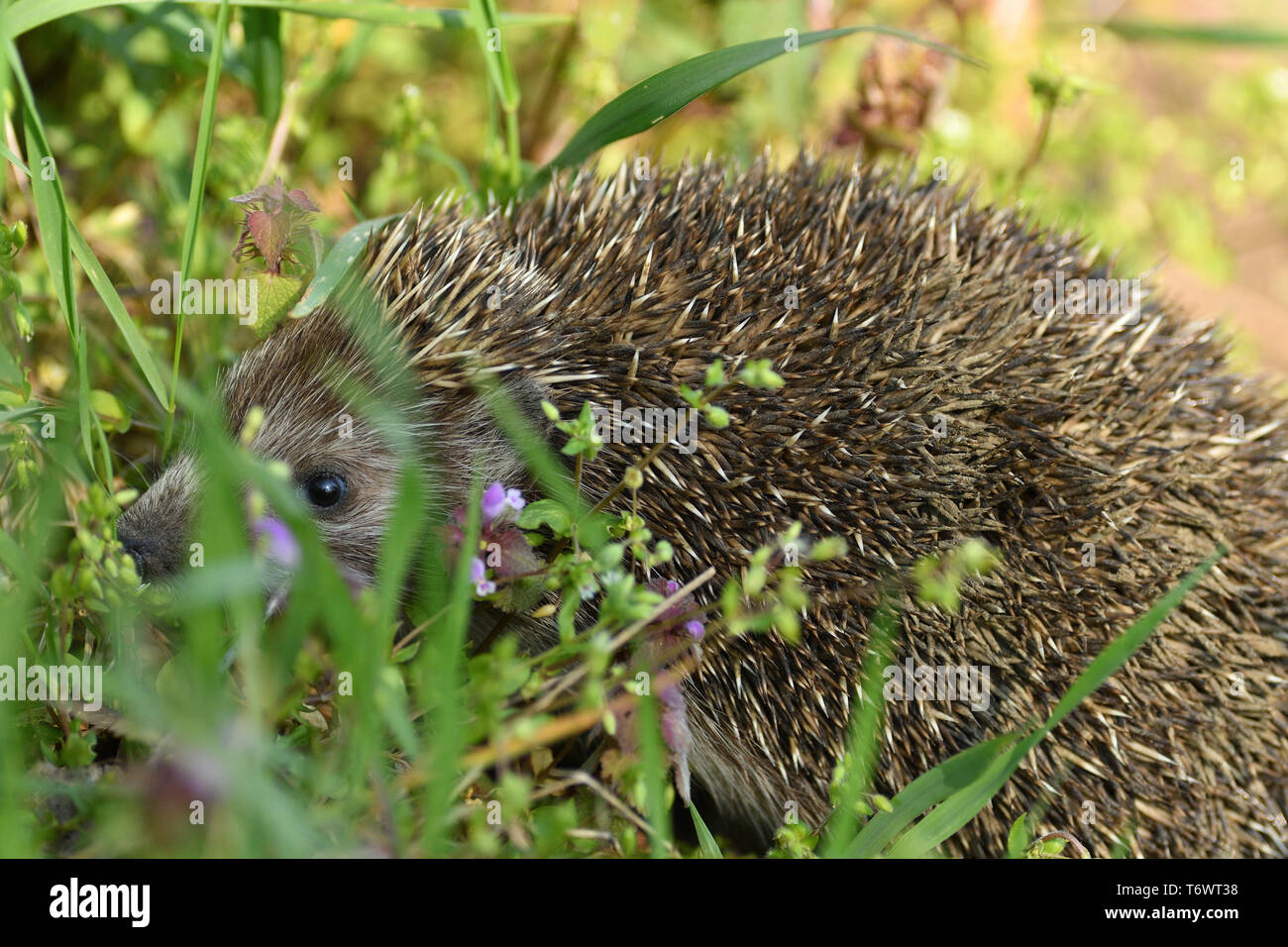 portrait of hedgehog in the field grass Stock Photo