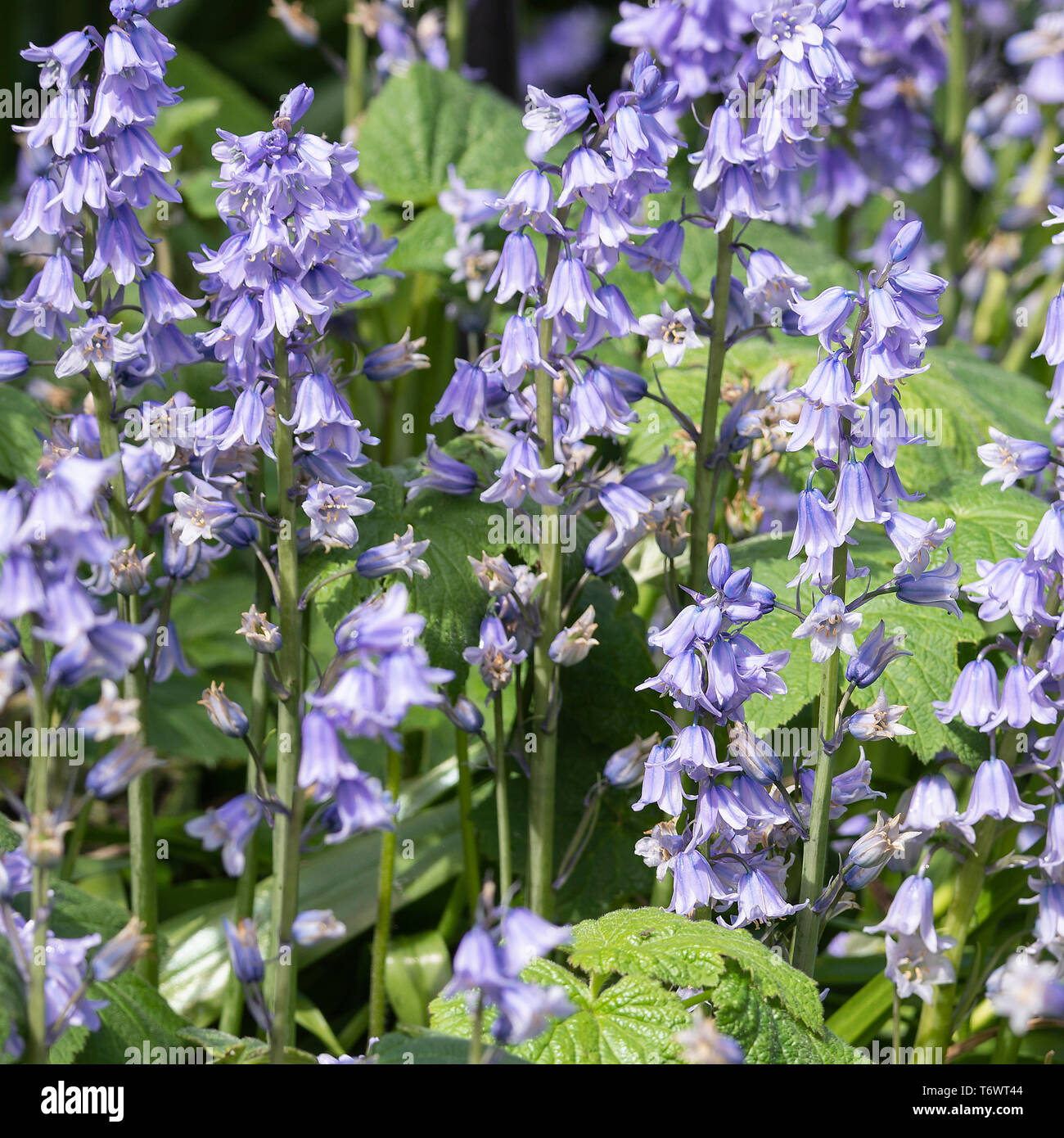 Clusters of Spanish Bluebell Flowers in Full Bloom in a Garden in Alsager Cheshire England United Kingdom UK - Stock Image