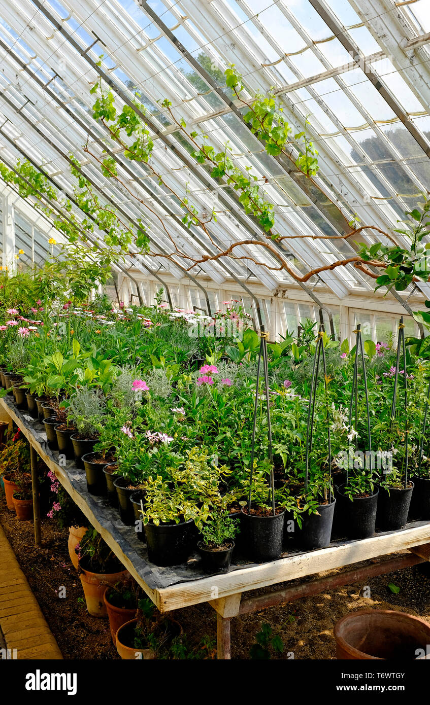 pot plants in large greenhouse, north norfolk, england - Stock Image