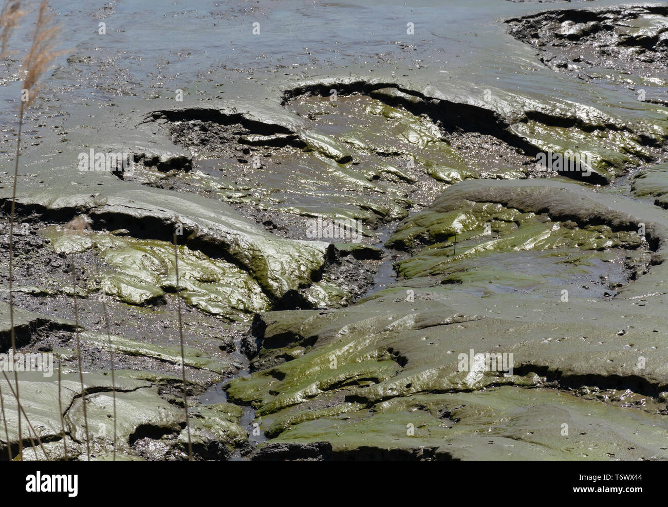 muddy surface of rocks, green algae mud and water caused by the retreating water gives a nice texture - Stock Image