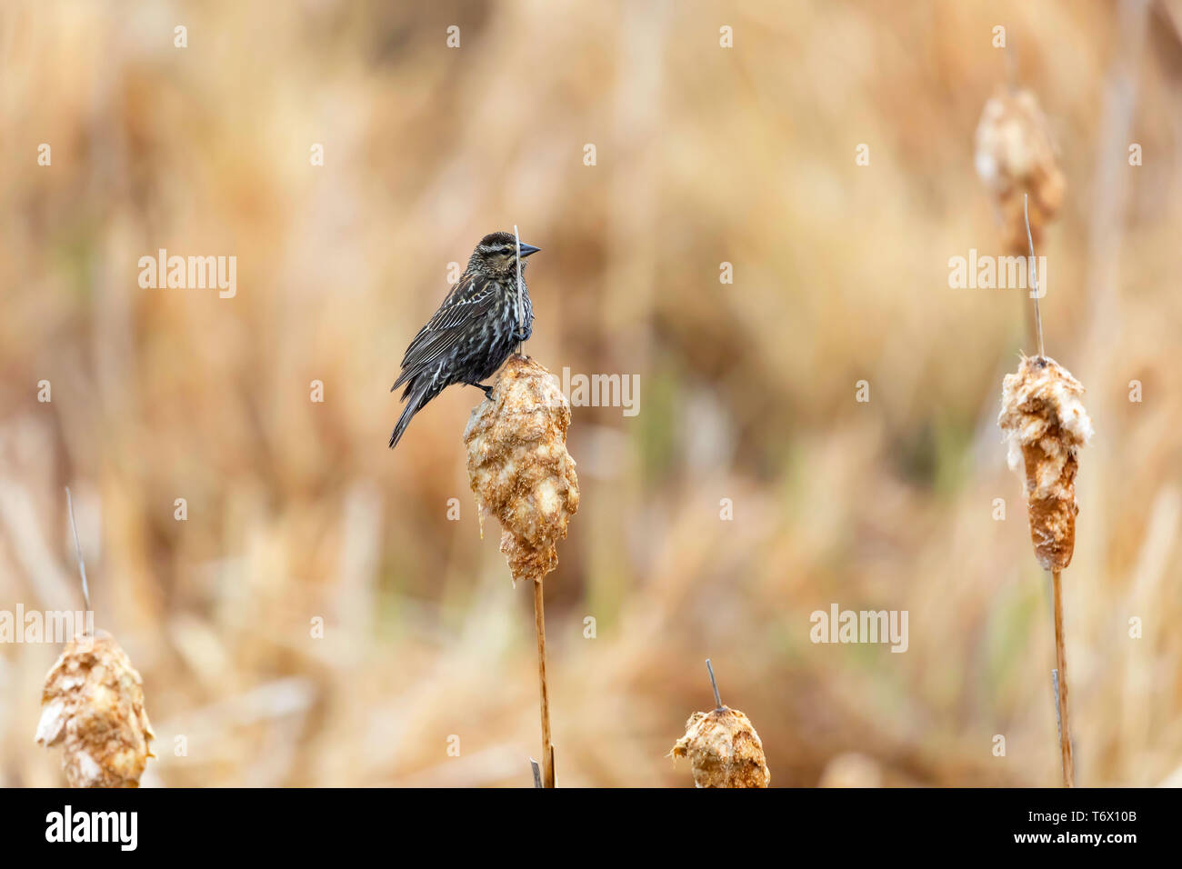 Female red-wing blackbird sitting on old reed.Natural environment in conservation Wisconsin area . - Stock Image
