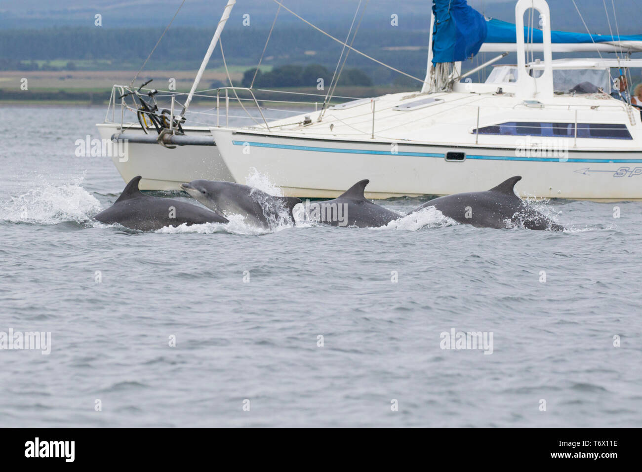 A pod of bottlenose dolphins (tursiops truncatus) surfacing next to a catamaran in the Moray Firth, Scotland, UK - Stock Image