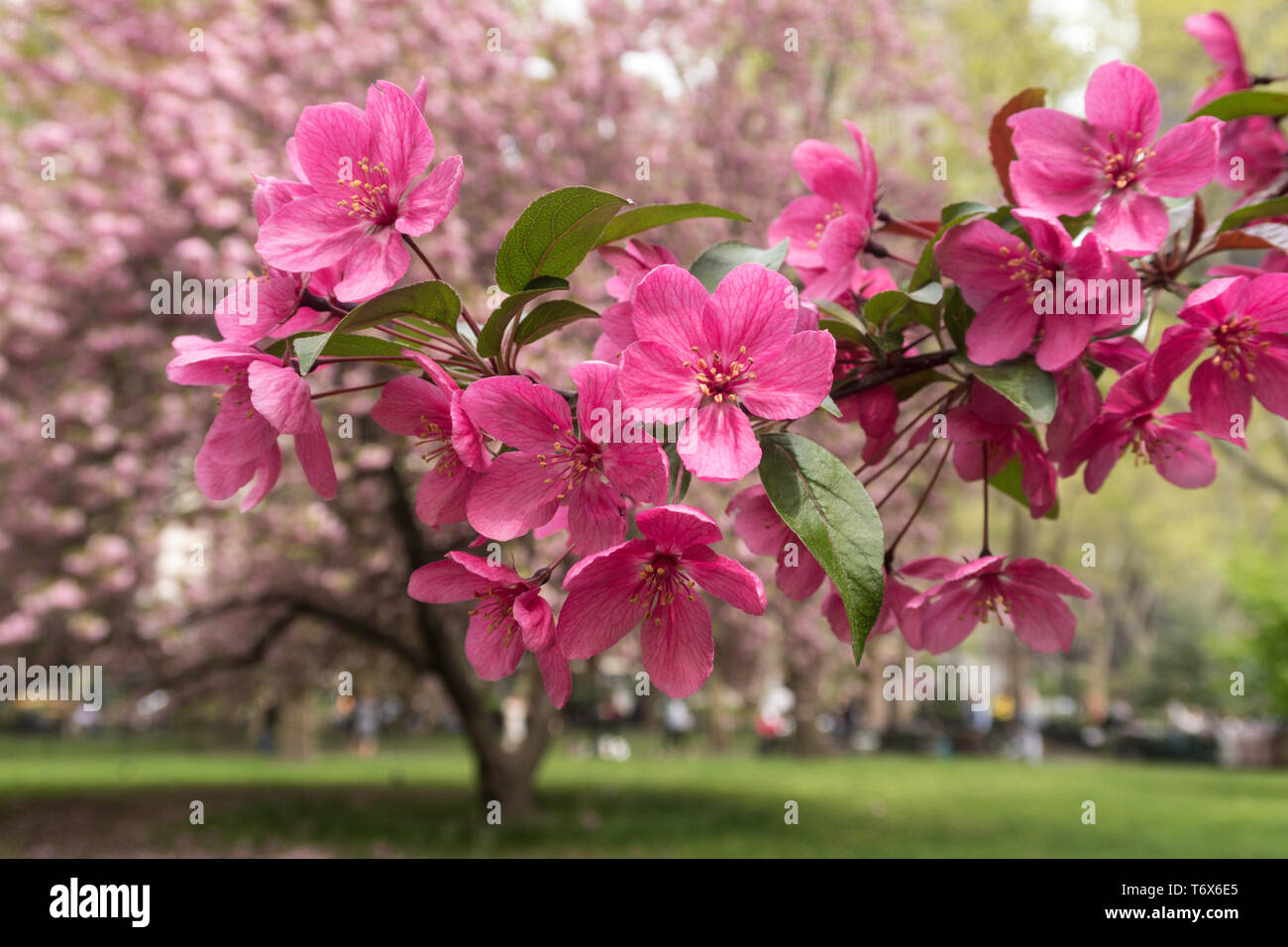 Prairie fire crab apple tree blossoms are beautiful in Madison Square Park, NYC, USA Stock Photo