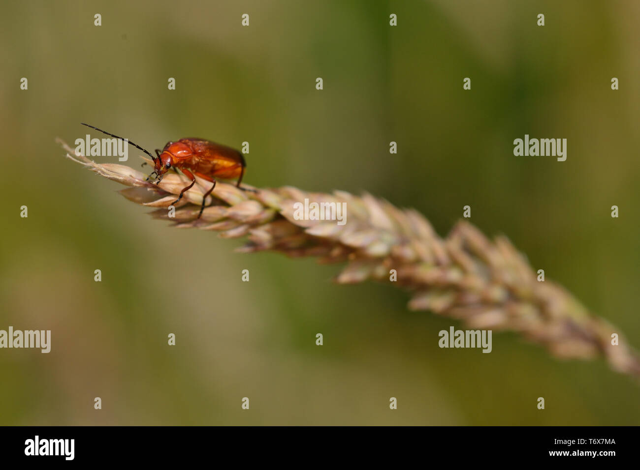 Red Soldier Beetle on grass in Stoke Park, Bristol, England.  Otherwise known as the 'Bloodsucker' and 'Hogweed Bonking' Beetle. - Stock Image