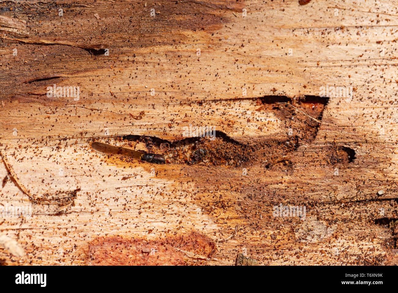 Closeup of damaged bark and wood caused by bark beetle - Scolytinae Stock Photo