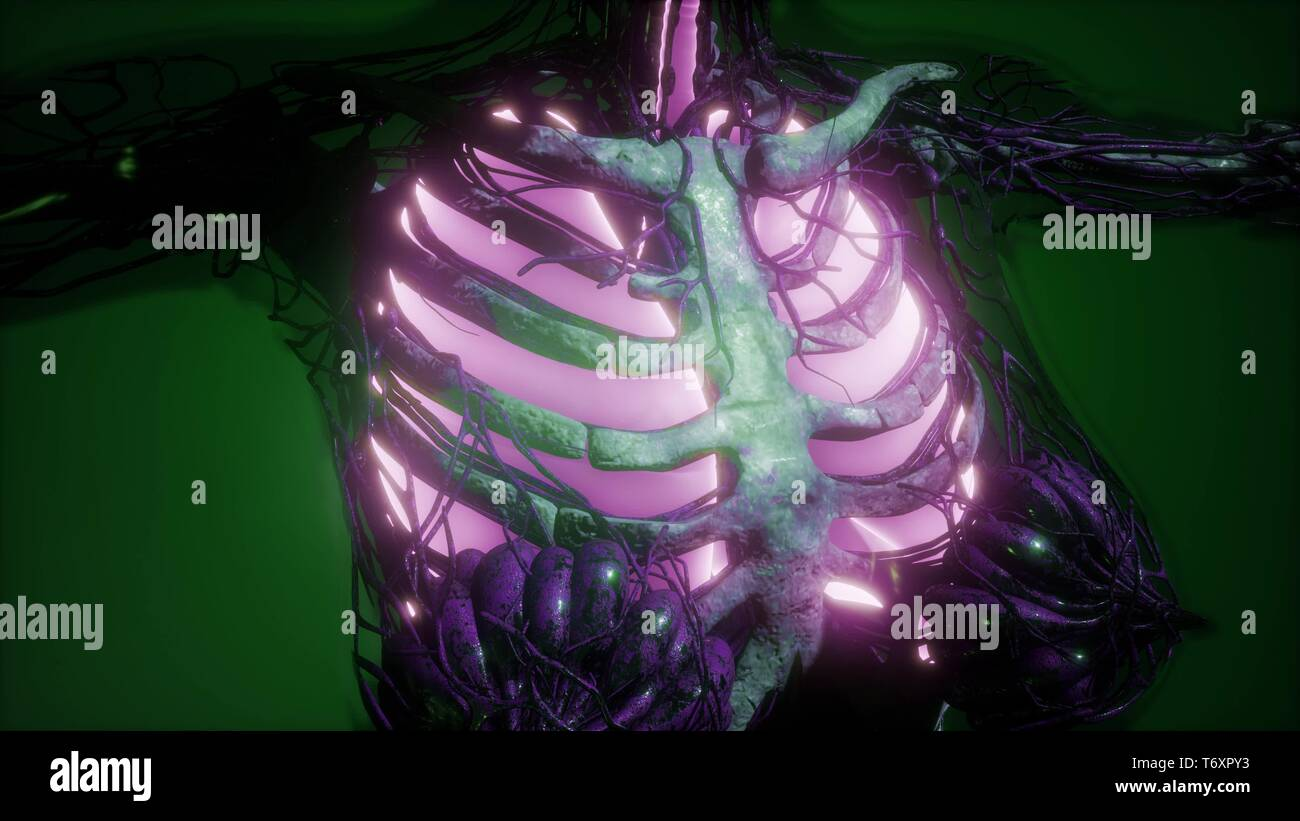 Human Body with Visible Lungs - Stock Image