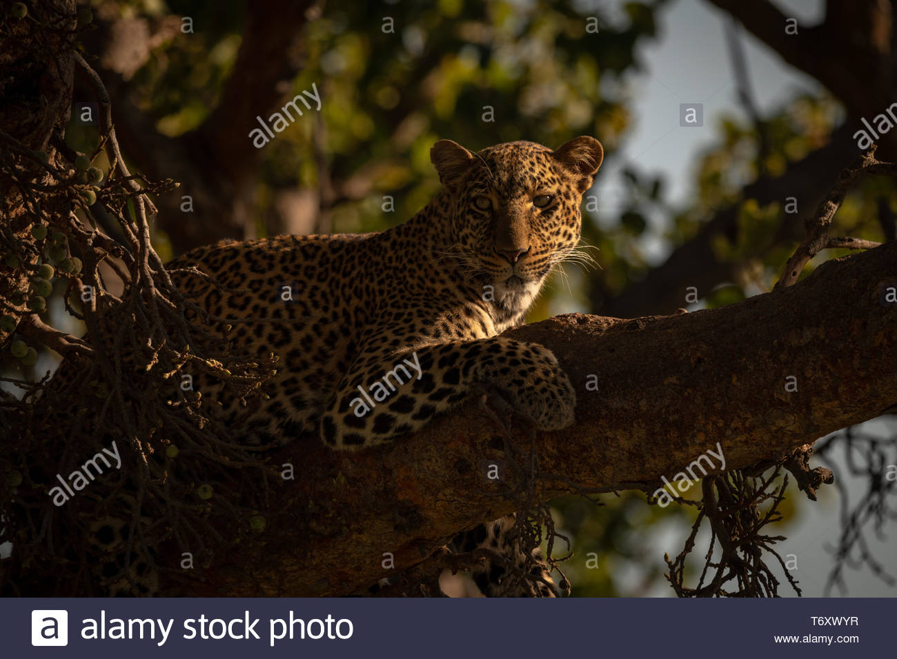Leopard lying with catchlight in fig tree - Stock Image