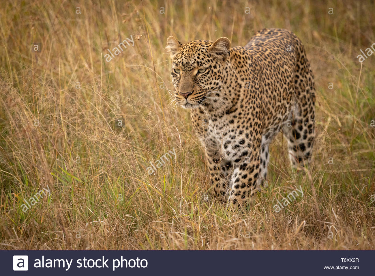 Leopard stands looking ahead in long grass - Stock Image