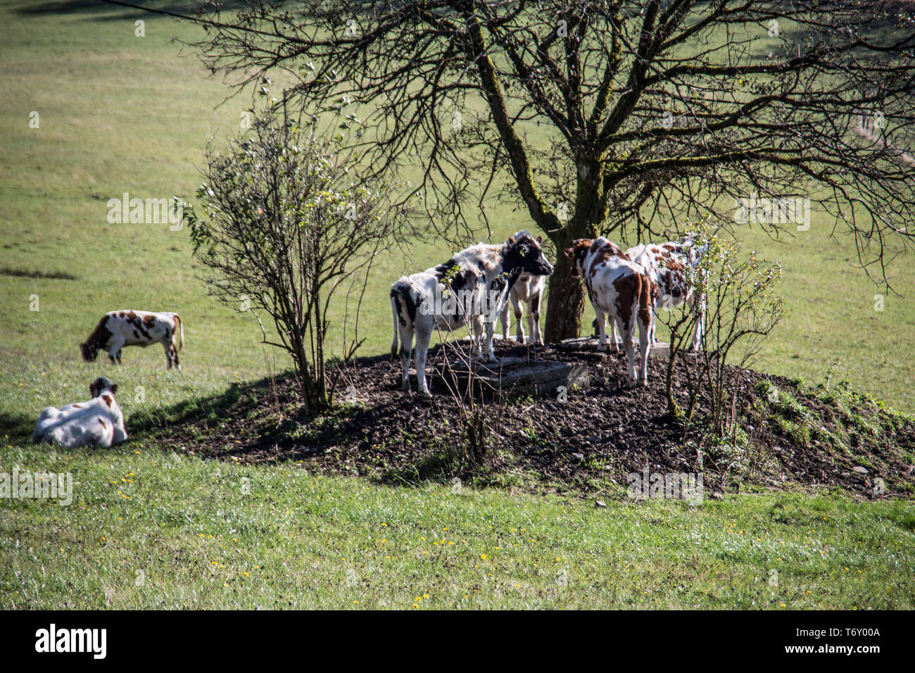 Cows seek shade under tree Stock Photo