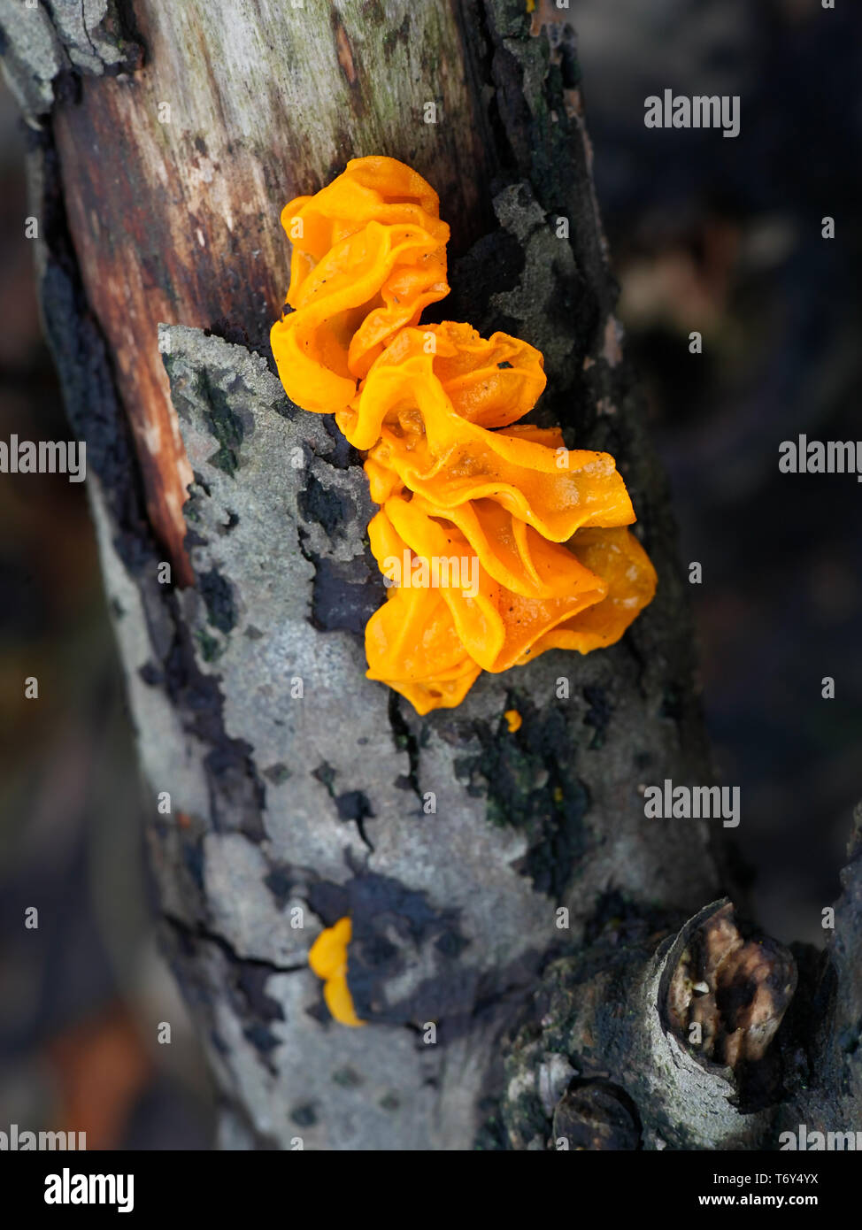 Tremella mesenterica, known as yellow brain, golden jelly fungus, yellow trembler, and witches' butter - Stock Image