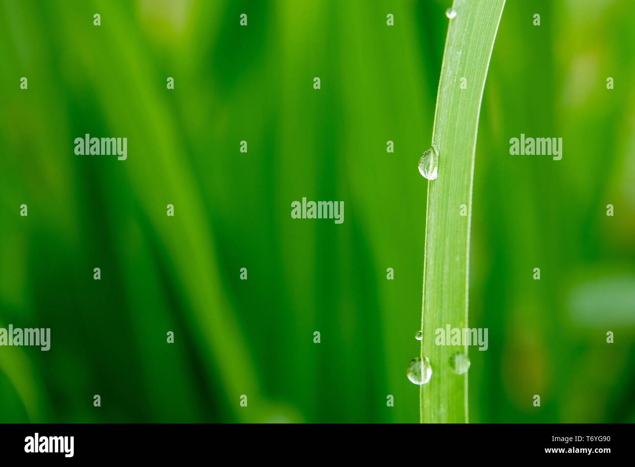 Drops of water on blade of grass - Stock Image