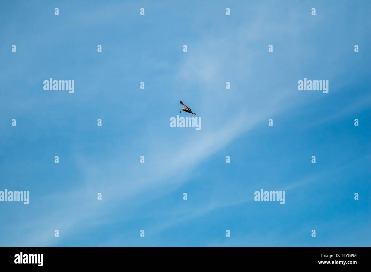 Hawk in the sky hunted the mouse. - Stock Image