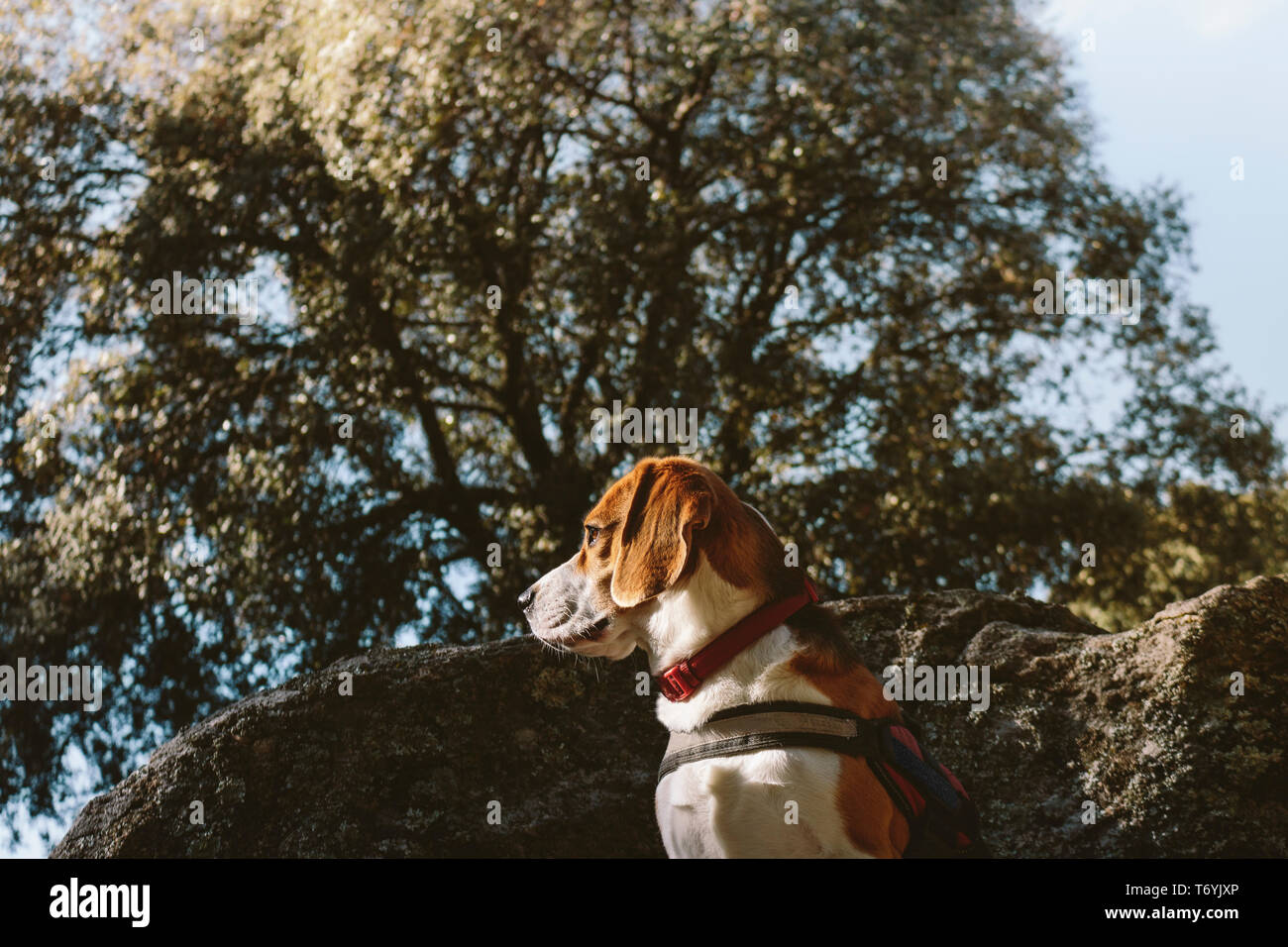 Pretty Beagle dog looks attentive on a large rock Stock Photo