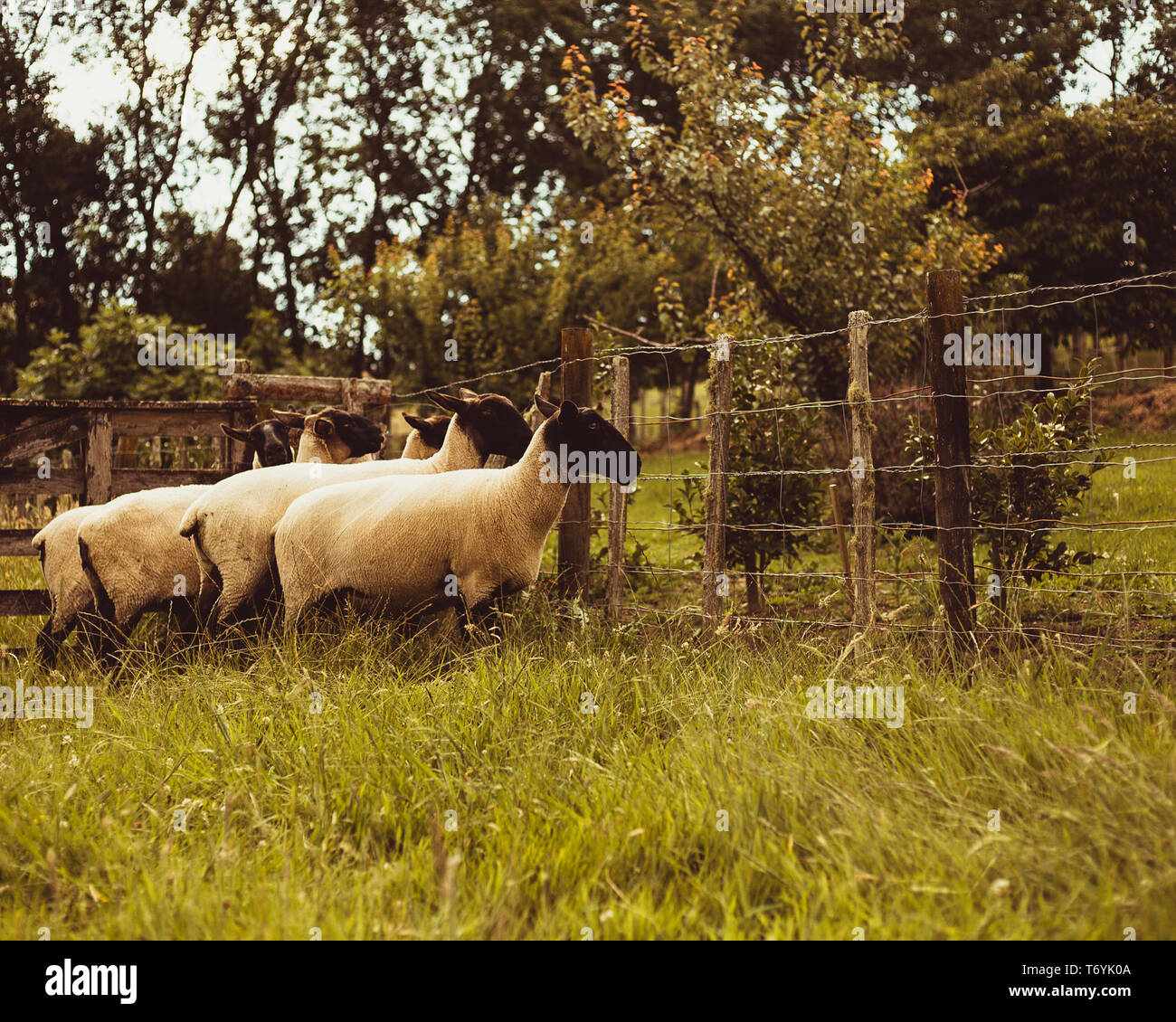 Country sheep Stock Photo