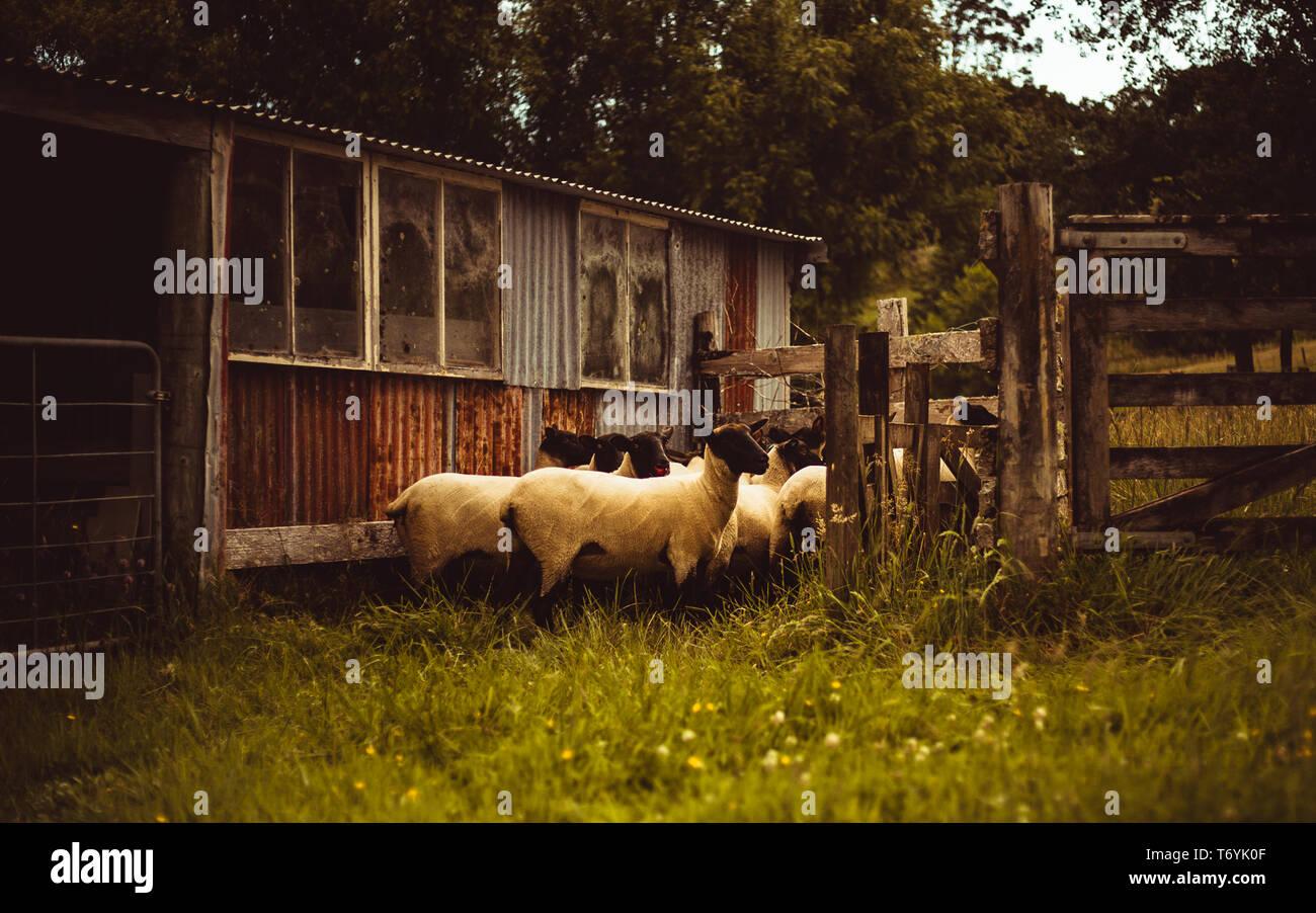 Sheep Pen huddle Stock Photo