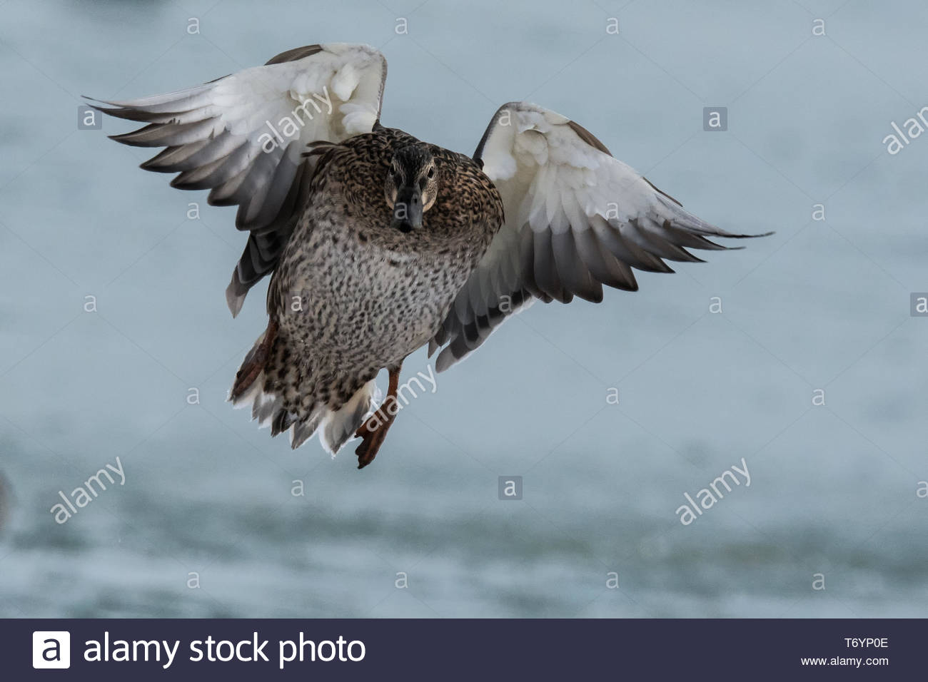 Mallard duck flying in to land with wings outstretched Peterborough Ontario Canada - Stock Image