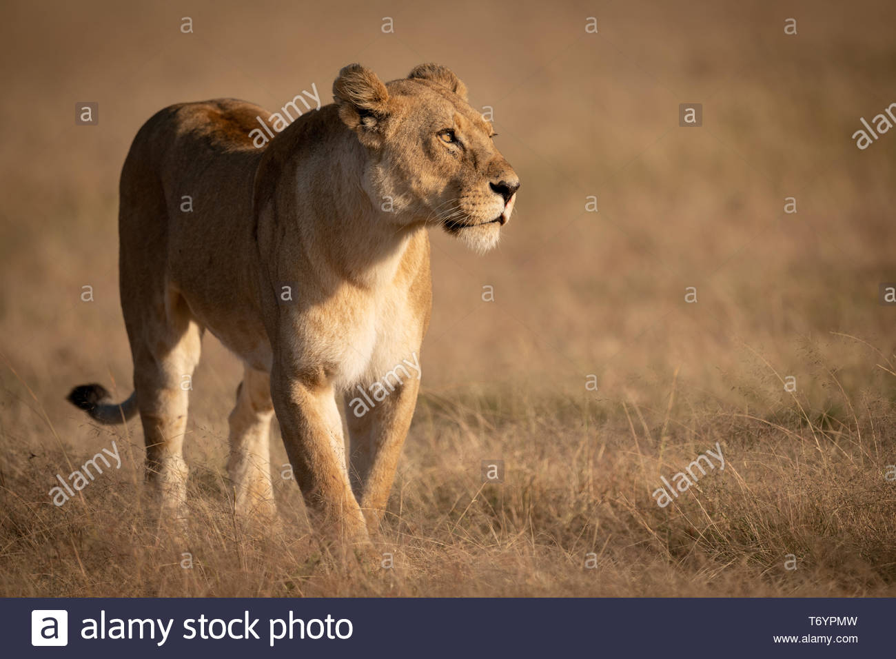 Lioness crosses grass with catchlight in eye - Stock Image