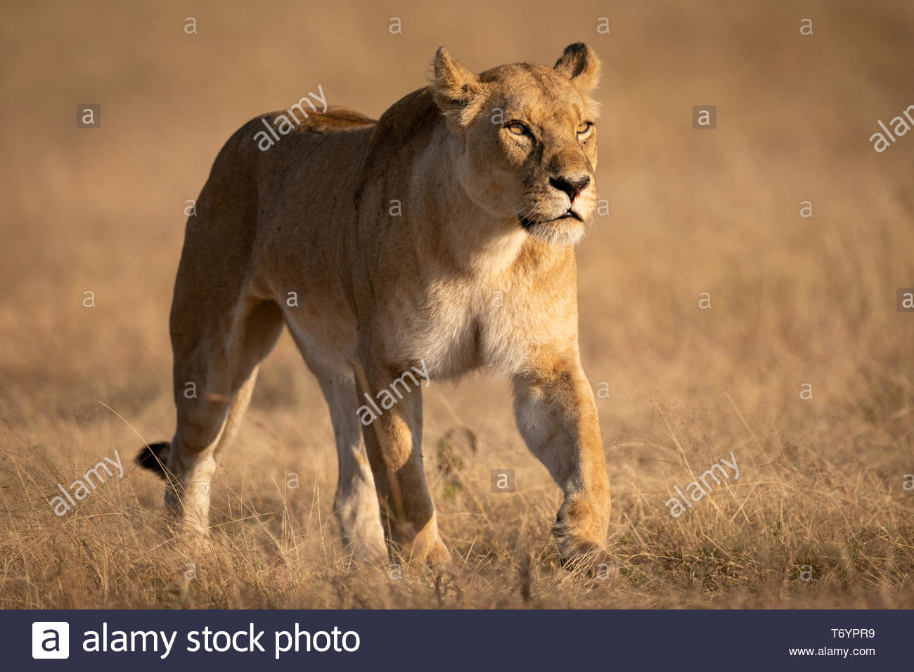 Lioness walking on short grass looking ahead - Stock Image