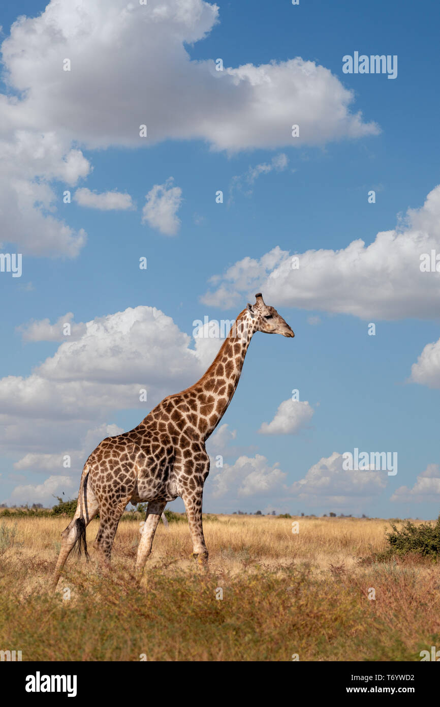 South African giraffe Savuti, Botswana safari Stock Photo