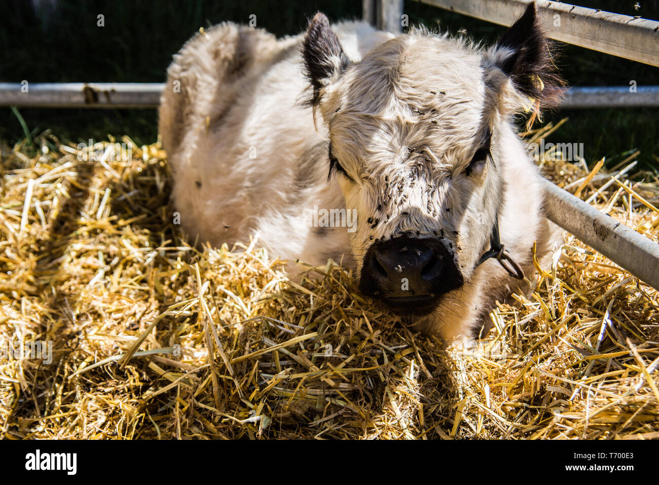 Cows in the stables - Stock Image