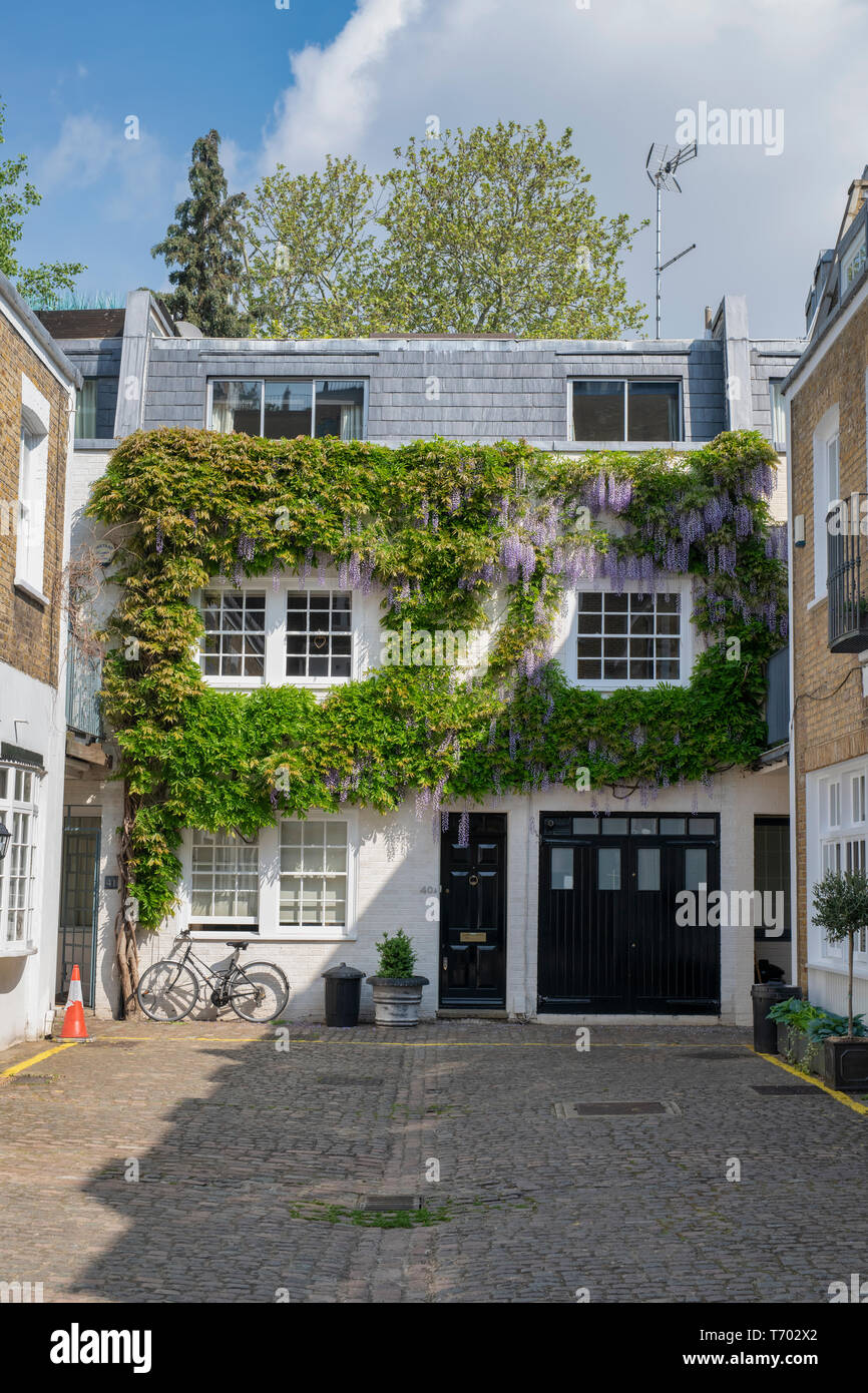 Wisteria on the front of a house in Queens Gate Mews, South Kensington , London, England - Stock Image