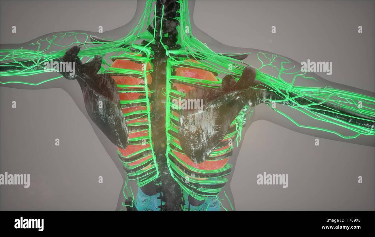 colored Human Internal organs scan - Stock Image