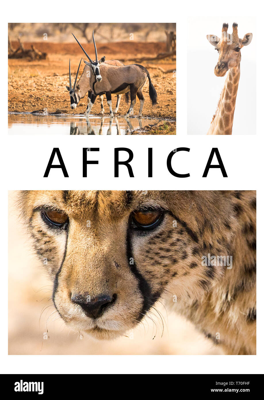 Africa or African collage of a collection or group of wildlife images or photos of Cheetah, Giraffe and Oryx animals in the wild of Namibia with text - Stock Image