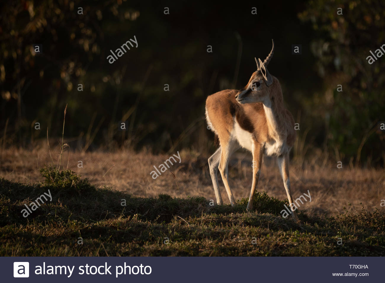 Thomson gazelle stands in savannah with catchlight - Stock Image