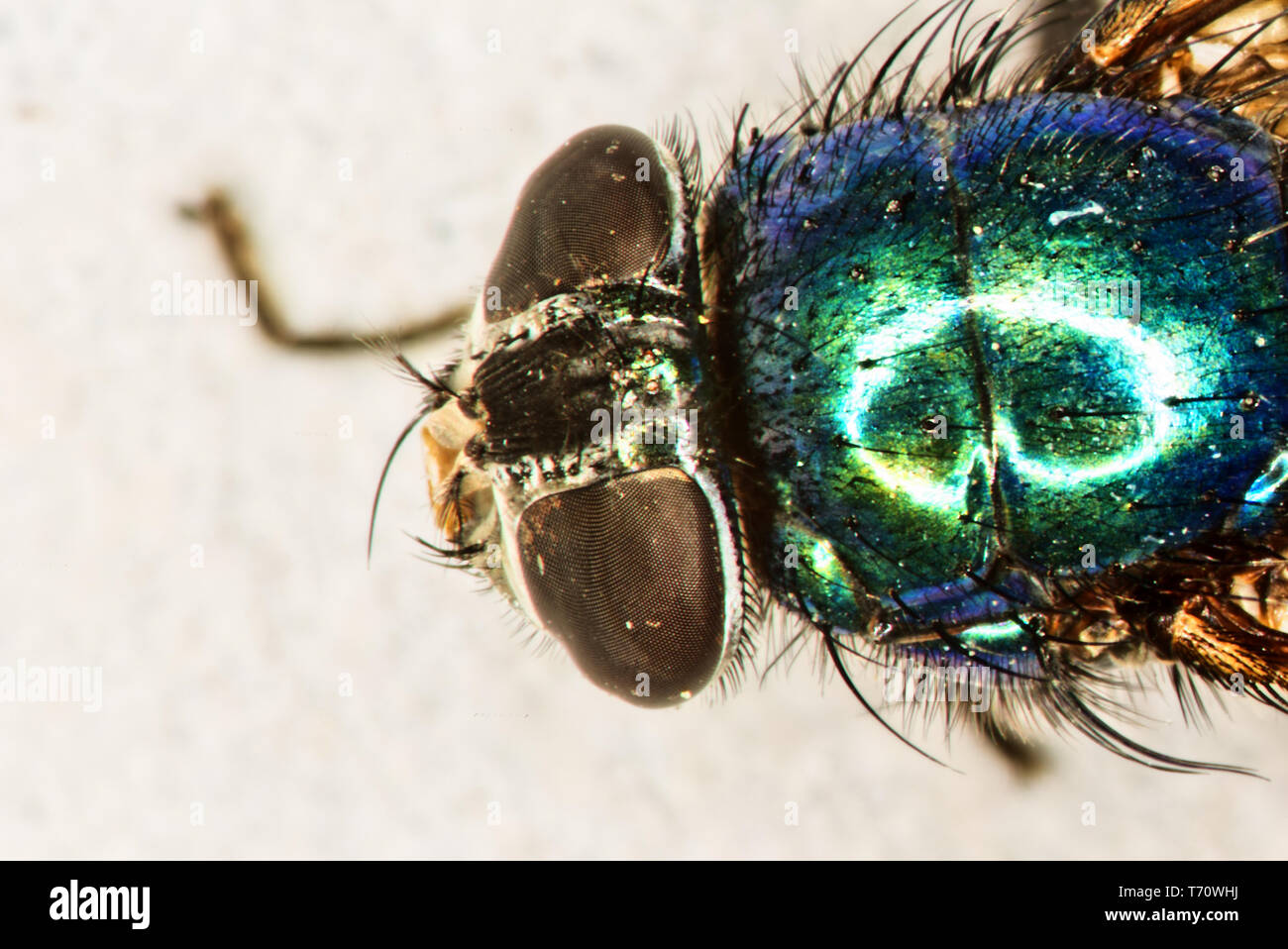 Gold fly with compound eyes and bristles under the magnifying glass - Stock Image