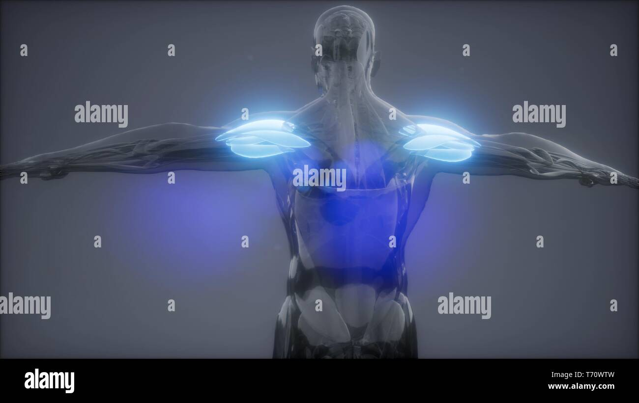 deltoid - Visible muscle anatomy map Stock Photo