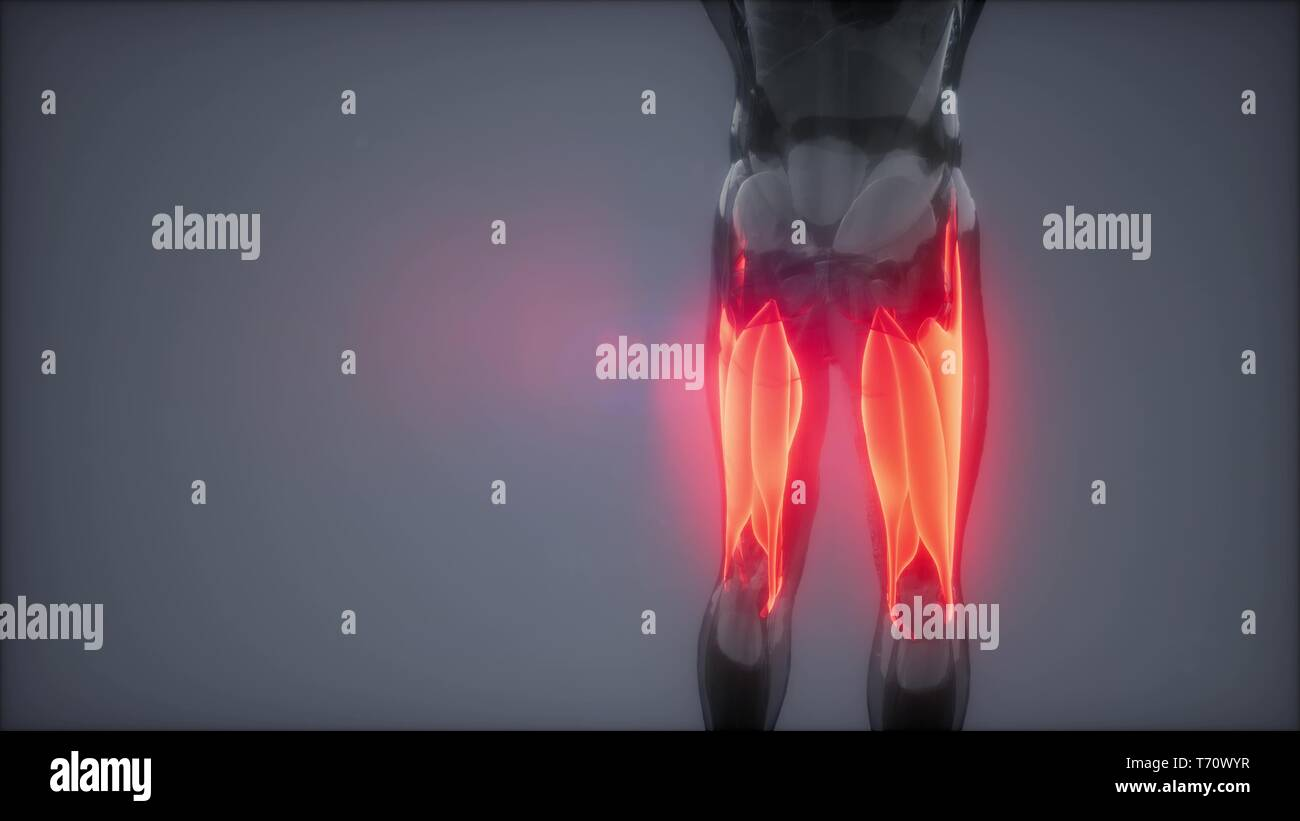 thigh muscles - Visible muscle anatomy map - Stock Image