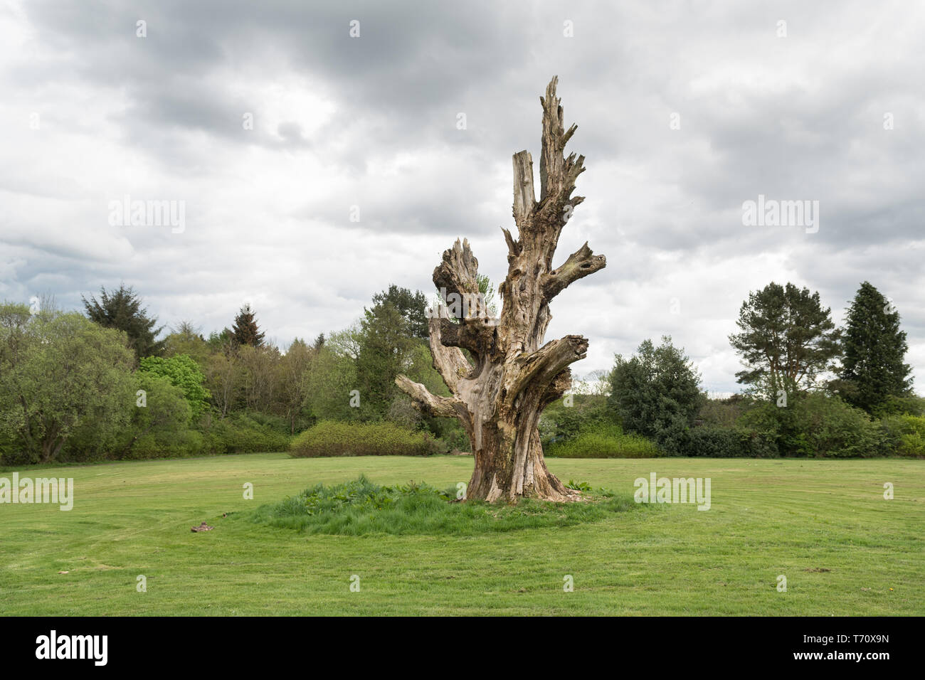 Dead tree in Cumbernauld House Park, Cumbernauld -  famously used in the filming of Gregory's Girl Stock Photo
