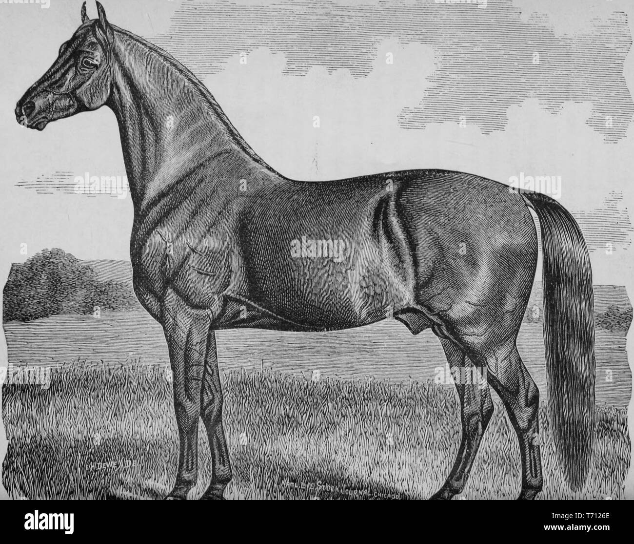 Book engraving of the Cleveland Bay Stallion originated in England during the 17th century, Buckingham, England, 1883. Courtesy Internet Archive. () - Stock Image