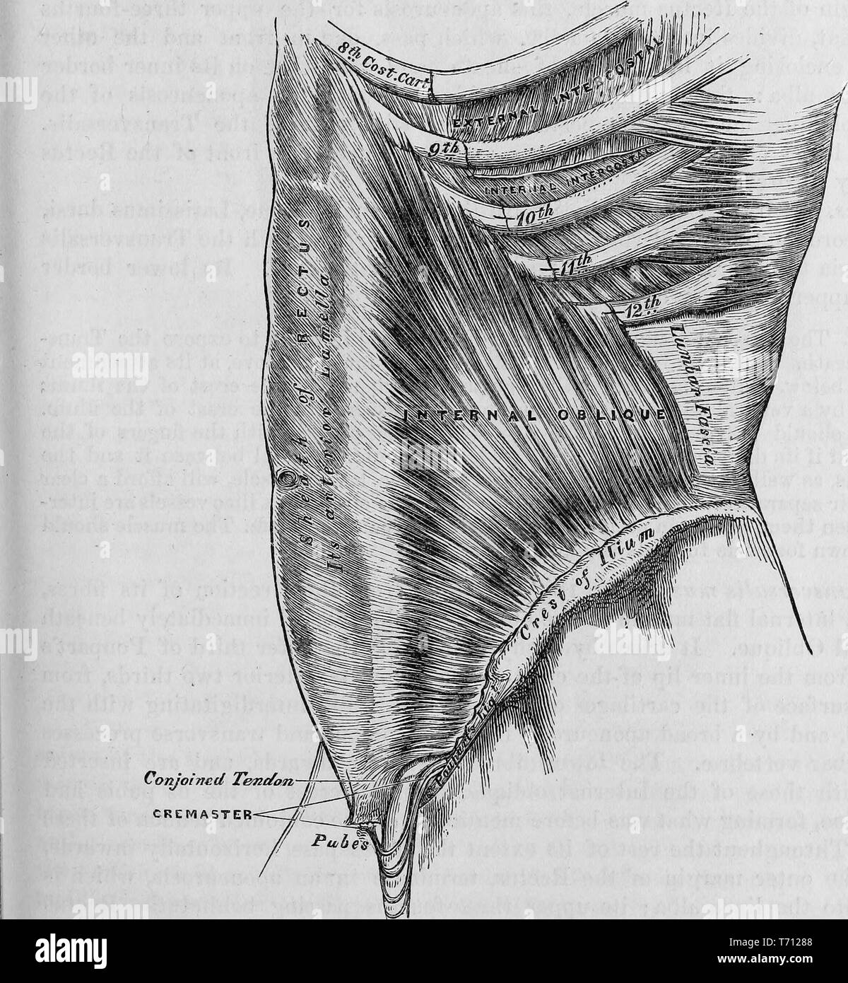 Black and white print of a male, human torso, in profile, to show the abdominal internal oblique muscle and associated structures, illustrated by Henry Vandyke Carter, and published in Henry Gray's medical volume 'Anatomy, descriptive and surgical', 1860. Courtesy Internet Archive. () - Stock Image