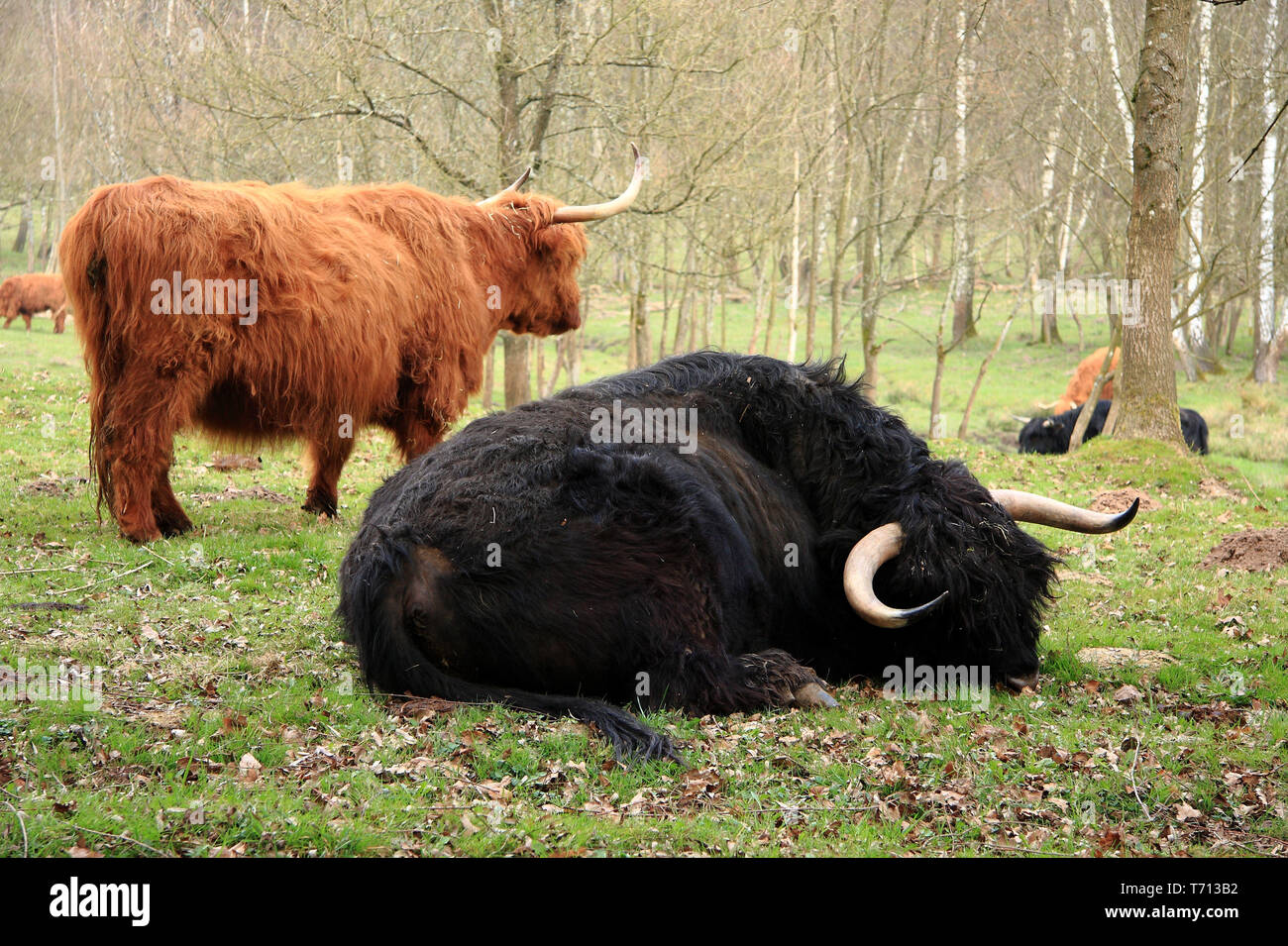 Siesta with the scottish highland cattle - Stock Image