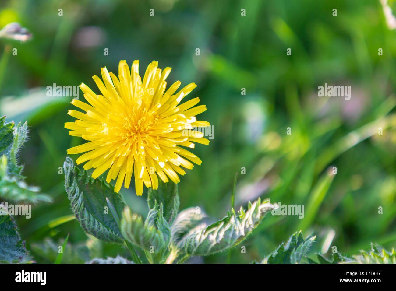 Yellow dandelion flower against green grass with copyspace to the right - Stock Image