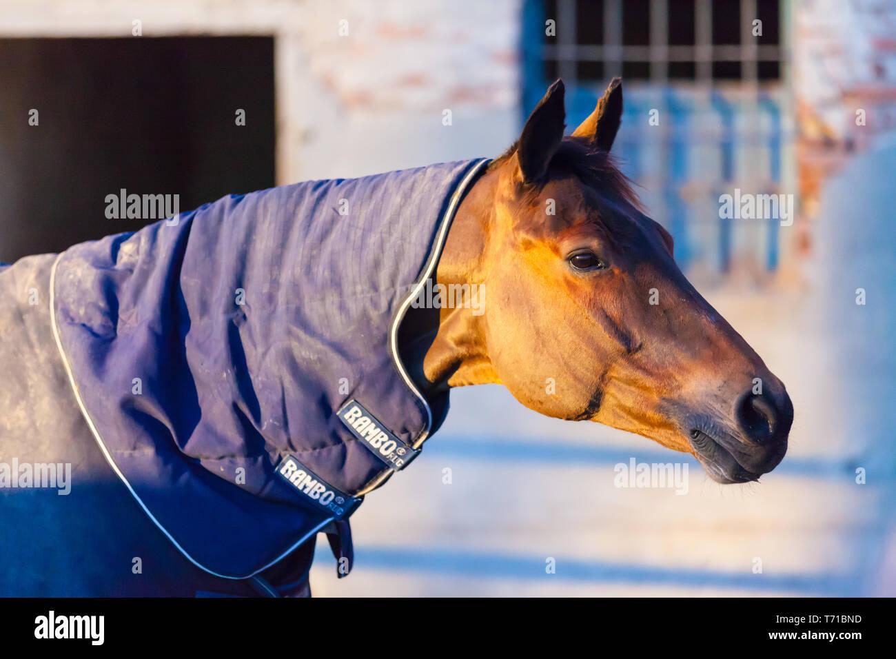 thoroughbred horse profile portrait at sunset Stock Photo