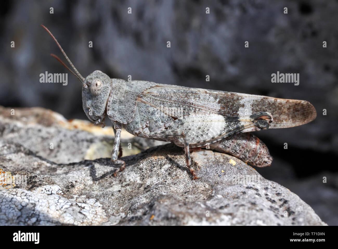 Longhorn Band-wing Grasshopper, Psinidia fenestralis - Stock Image