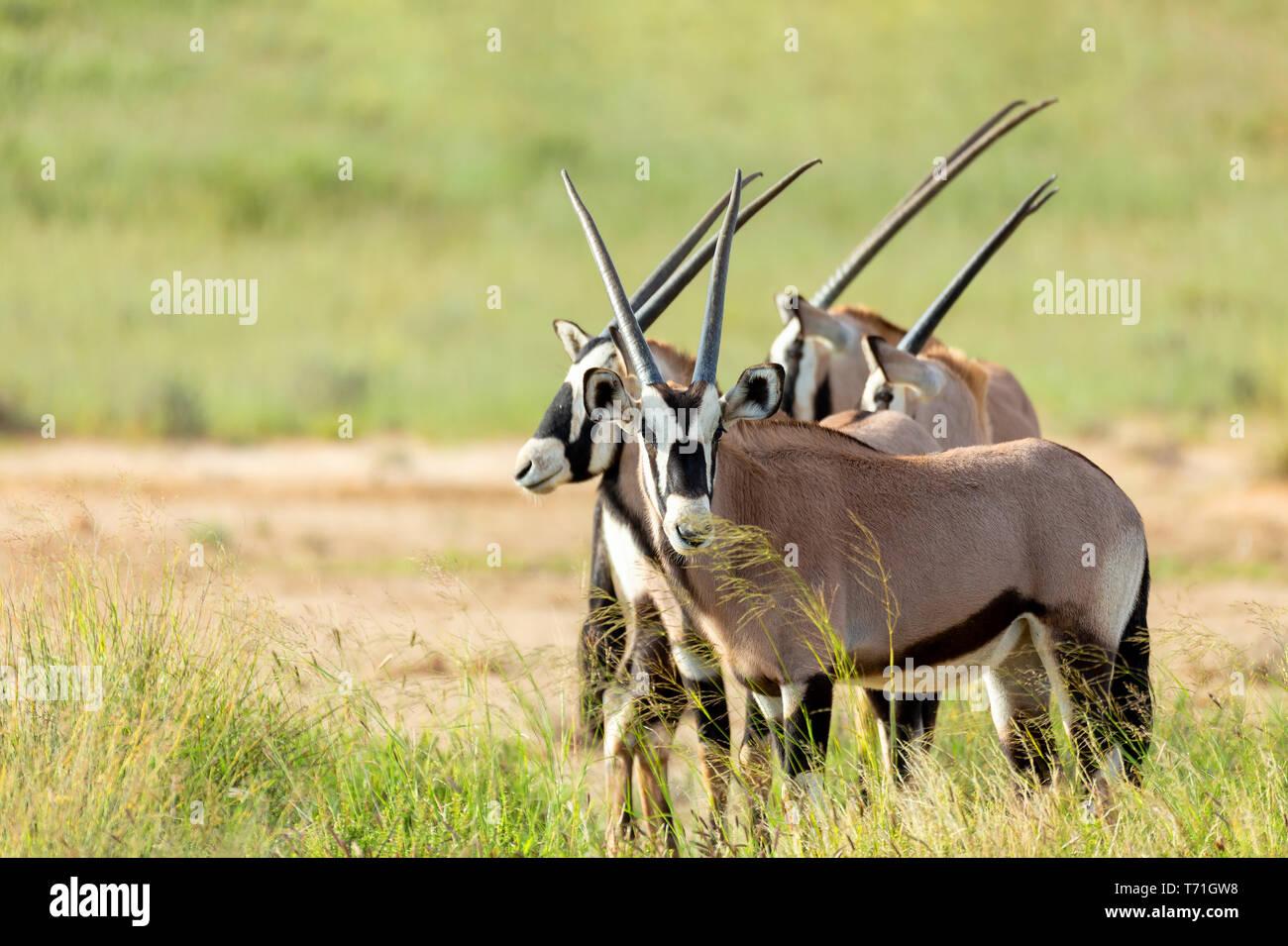 Gemsbok, Oryx gazella in Kalahari Stock Photo
