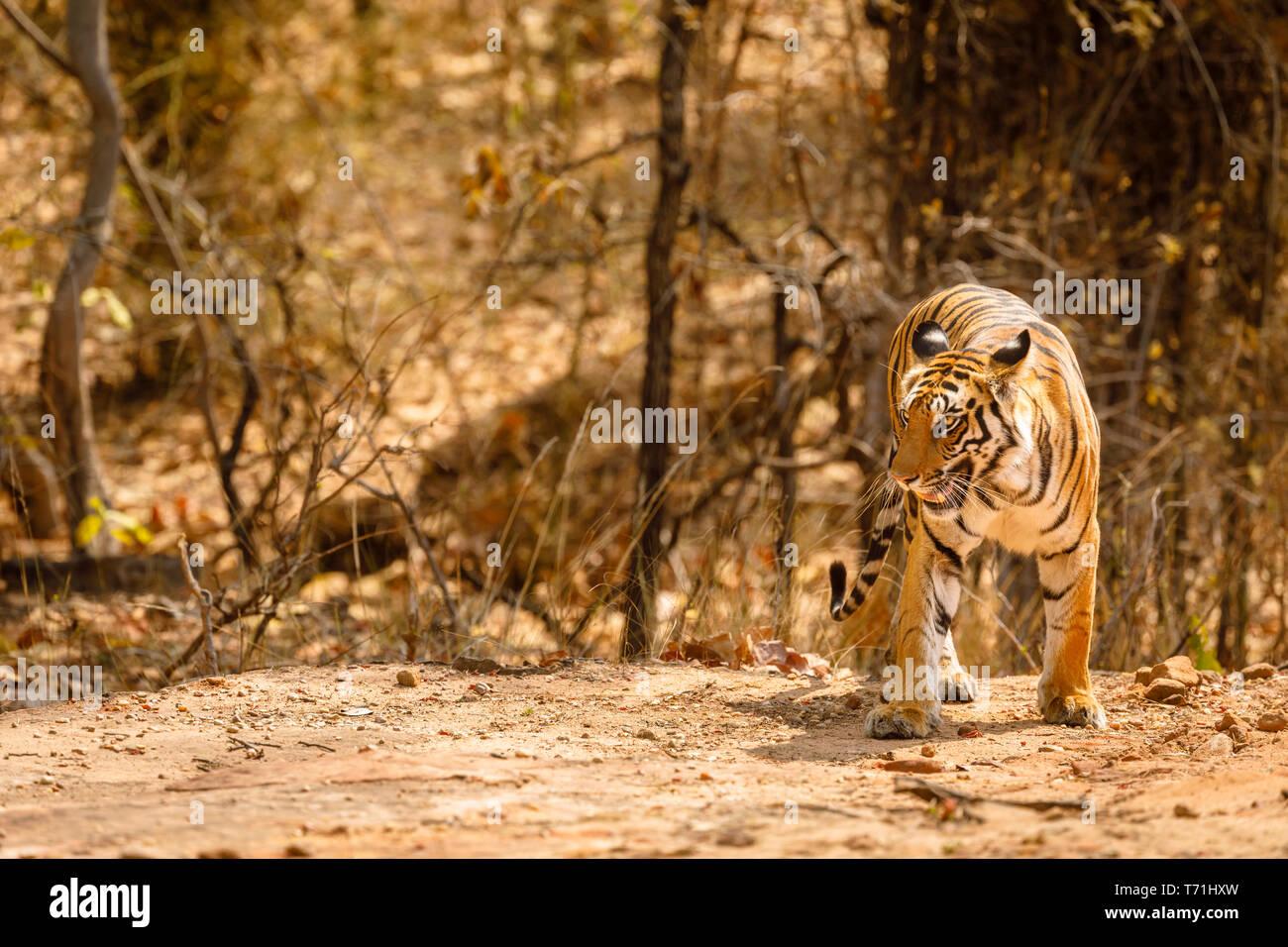 Tigress, Bengal tiger (Panthera tigris) in Bandhavgarh National Park in the Umaria district of the central Indian state of Madhya Pradesh - Stock Image