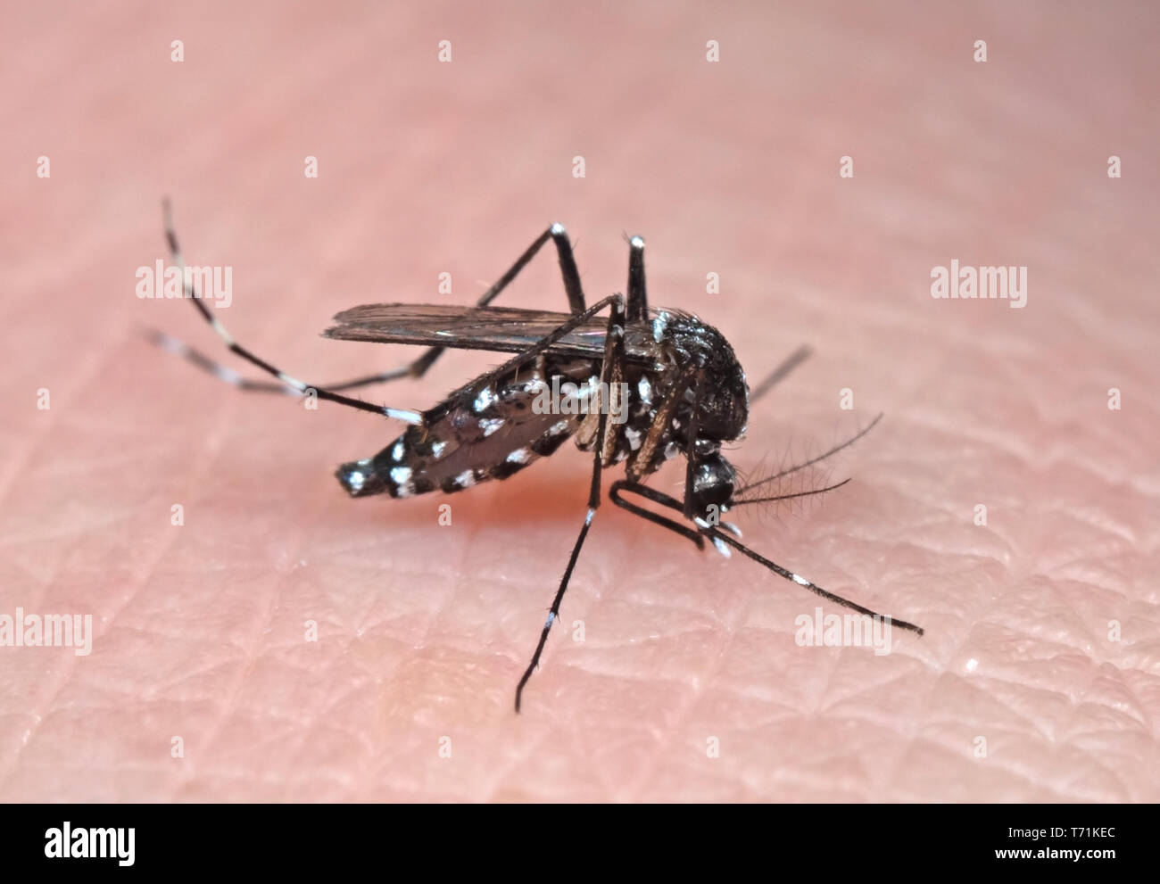 Macro Photography of Yellow Fever Mosquito Sucking Blood on Human Skin - Stock Image