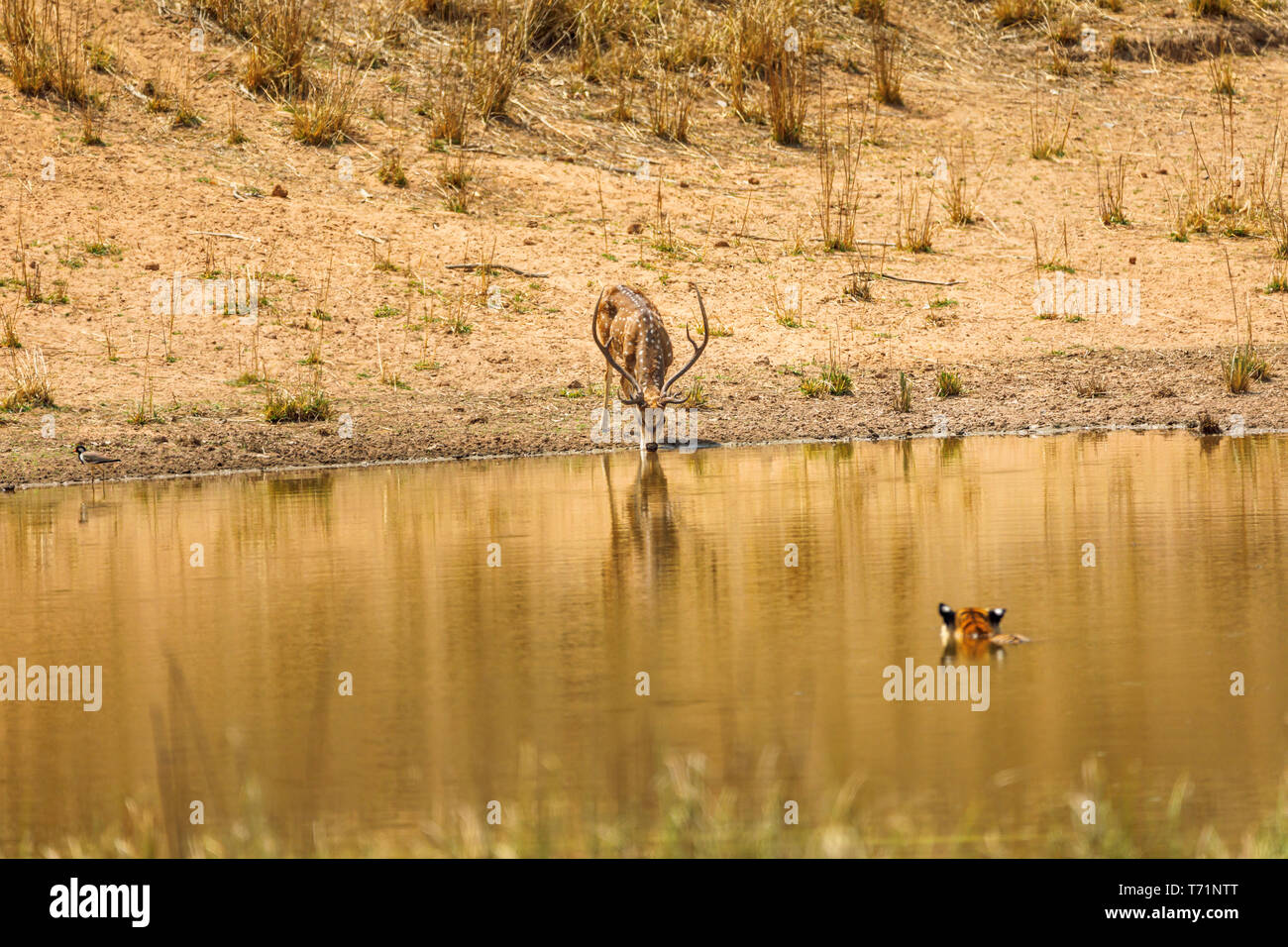 Spotted deer (Axis axis) stag drinks unaware of a nearby tiger (Bengal tiger, Panthera tigris) in the water, Bandhavgarh National Park, Madhya Pradesh - Stock Image