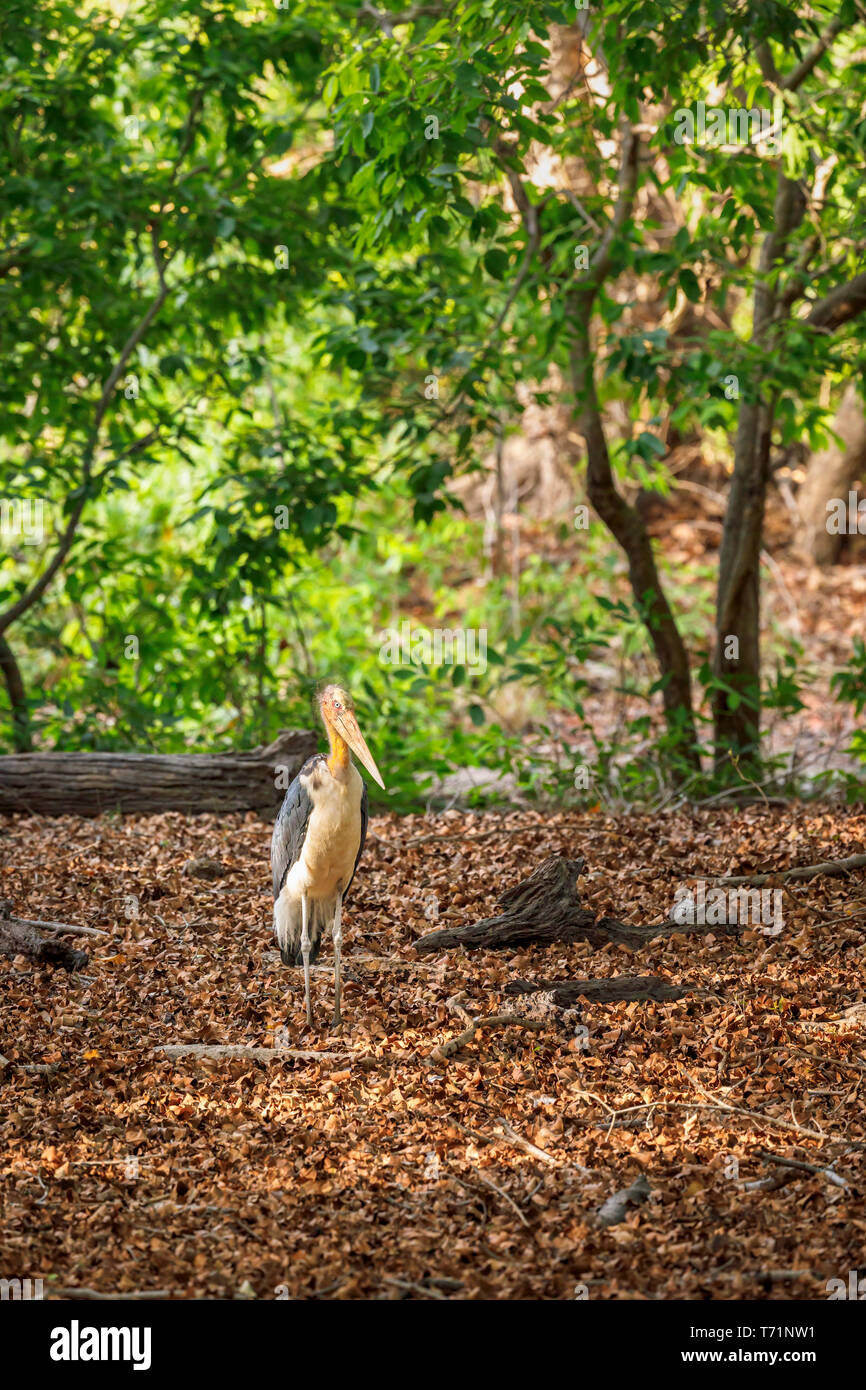 Lesser adjutant (Leptoptilos javanicus), a large wading bird in the stork family, Bandhavgarh National Park, Umaria district, Madhya Pradesh, India - Stock Image