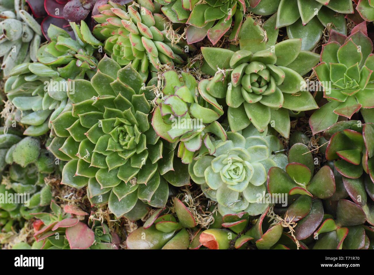 Sempervivum. Houseleek succuelnts form a plant wall in a vertical garden, UK Stock Photo